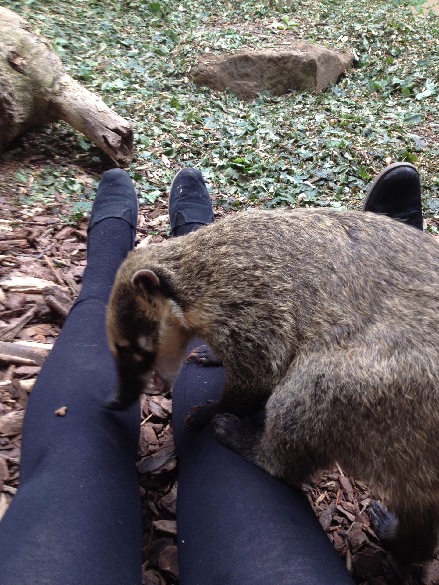Feeding the ring-tailed coatis